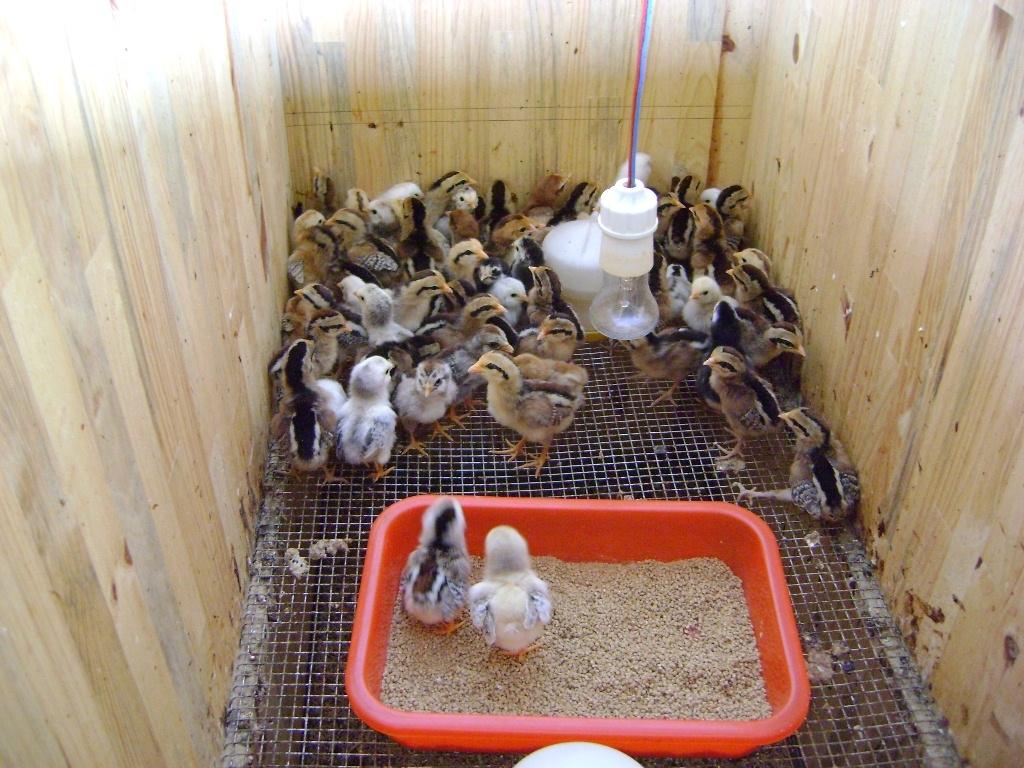 Hướng dẫn: Cách nuôi gà rừng con mới nở siêu lợi nhuận
