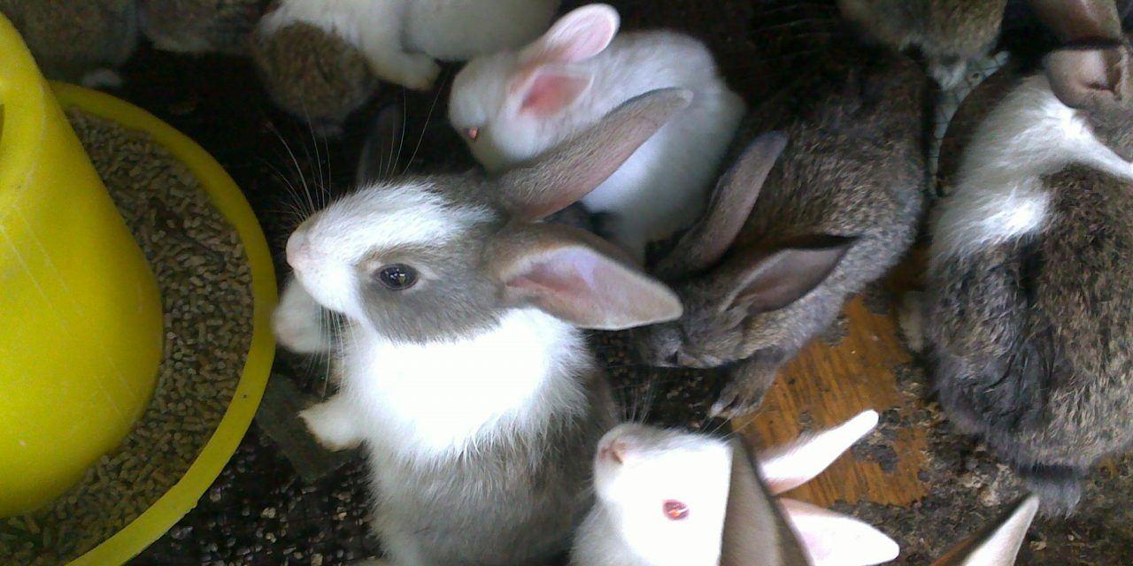 Cách chế biến thức ăn cho thỏ tại nhà hiệu quả nhất