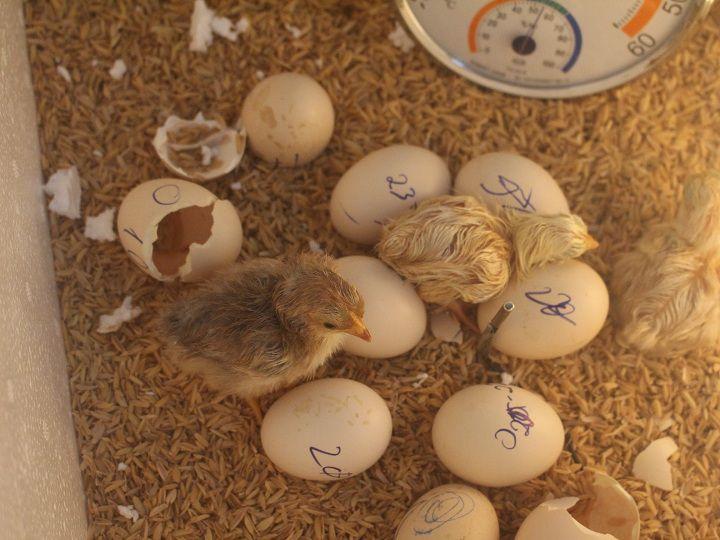 Trứng gà ấp bao lâu thì nở, giải đáp chính xác nhất cho bà con