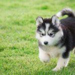 Các yếu tố cần lưu ý khi mua chó Alaska uy tín ở Hà Nội