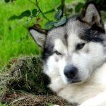 Kinh nghiệm mua chó Alaska cái tốt nhất